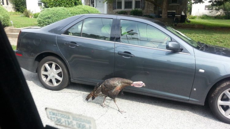 Wild Turkeys, Coyotes & Hawks in Lansdowne? Oh My! | June's Journal image 1